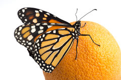 Beautiful monarch butterfly perched on an orange Royalty Free Stock Photography