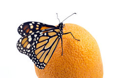 Beautiful monarch butterfly perched on an orange Stock Image