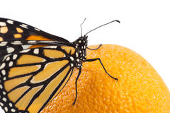 Beautiful monarch butterfly perched on an orange Stock Photo