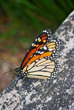 Beautiful monarch butterfly Stock Photography