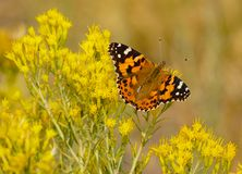 A Beautiful Monarch Butterfly Resting on Yellow Spring Flowers. A beautiful large Monarch Butterfly with wings spread sits on small yellow spring flowers royalty free stock photos