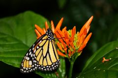 Beautiful Monarch butterfly sipping nectar. On an orange flower stock images