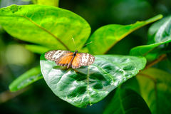 Beautiful Monarch butterfly. Monarch butterfly sitting on leaf stock images