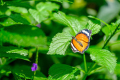 Beautiful Monarch butterfly. Monarch butterfly sitting on leaves Stock Photography