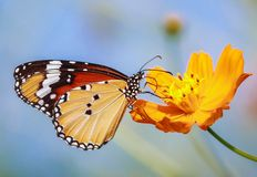 Monarch butterfly macro. Beautiful monarch butterfly sitting on a orange flower under the sky royalty free stock images