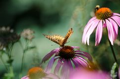 Beautiful monarch butterfly on top of a purple coneflower wildflower. Blurred background stock photos