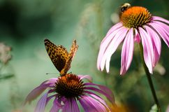Beautiful monarch butterfly on top of a purple coneflower wildflower. Blurred background stock photography
