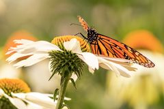 Wings of a monarch butterfly. Beautiful monarch butterfly on a white flower during a sunny day with vibrant colors. Butterfly in a white daisy royalty free stock photos