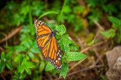 Beautiful Monarch butterfly. In the wild Royalty Free Stock Image