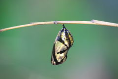 Beautiful Monarch chrysalis hanging on branch Stock Image