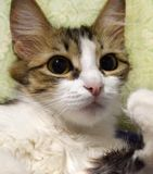 Portrait of tricolor kitty close up, cat washes royalty free stock images