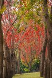 Beautiful Monkey Flower Tree or Fire of Pakistan in Thailand. Beautiful Monkey Flower Tree or Fire of Pakistan in February,Thailand Royalty Free Stock Images