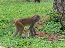 Macaque stands on four legs and looks surprised royalty free stock photography