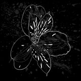 Beautiful monochrome, black and white Alstroemeria flower . Stock Photography
