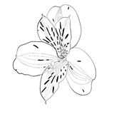 Beautiful monochrome, black and white Alstroemeria flower isolated. Stock Photos