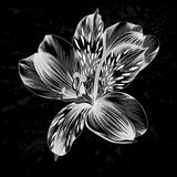 Beautiful monochrome, black and white Alstroemeria flower Stock Photography