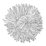 Beautiful monochrome, black and white aster flower . Royalty Free Stock Photo