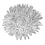 Beautiful monochrome, black and white aster flower isolated. Royalty Free Stock Photos