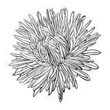 Beautiful monochrome, black and white aster flower isolated. Stock Image