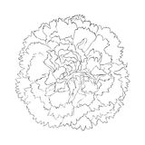 Beautiful monochrome black and white carnation flower isolated on white background. Royalty Free Stock Images