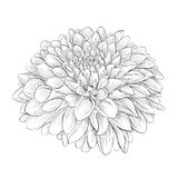 Beautiful monochrome black and white dahlia flower isolated on background. Royalty Free Stock Photo