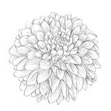 Beautiful monochrome black and white dahlia flower isolated on background. Stock Photos