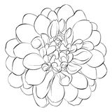 Beautiful monochrome black and white dahlia flower isolated on background. Hand-drawn contour lines. Stock Photo