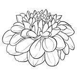 Beautiful monochrome black and white dahlia flower isolated on background. Hand-drawn contour lines. Stock Image