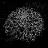 Beautiful monochrome black and white dahlia flower isolated. Hand-drawn contour lines and strokes. Stock Photography