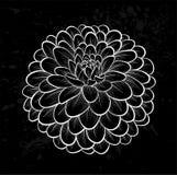 Beautiful monochrome black and white dahlia flower Royalty Free Stock Image