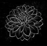 Beautiful monochrome black and white dahlia flower Stock Image