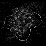 Beautiful monochrome, black and white flower hydrangea isolated. Royalty Free Stock Photo