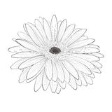 Beautiful monochrome, black and white gerbera flower isolated. Royalty Free Stock Images