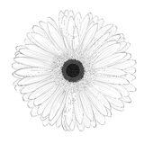 Beautiful monochrome, black and white gerbera flower isolated. Royalty Free Stock Photography