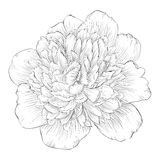 Beautiful monochrome black and white peony flower isolated on white background. Stock Photos