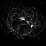 Beautiful monochrome black and white Plant Paeonia arborea (Tree peony) flower isolated. Royalty Free Stock Photography