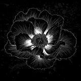 Beautiful monochrome black and white Plant Paeonia arborea (Tree peony) flower isolated. Royalty Free Stock Image