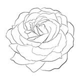 Beautiful monochrome black and white rose  Royalty Free Stock Photo
