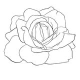 Beautiful monochrome black and white rose isolated Royalty Free Stock Photography