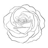 Beautiful monochrome black and white rose isolated on white background. Royalty Free Stock Image