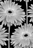Beautiful monochrome, black and white seamless background with gerbera flower with a stem. Stock Photos
