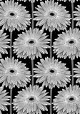 Beautiful monochrome, black and white seamless background with gerbera flower with a stem. Royalty Free Stock Image