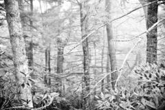 Beautiful Monochrome Forest With Large Trees. Beautiful monochrome forest. Black and white tree scene with large trees, bushes, pines and branches royalty free stock image