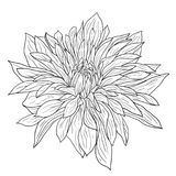 Beautiful monochrome sketch, black and white dahlia flower isolated Stock Images