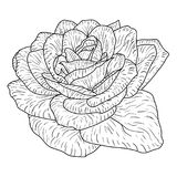 Beautiful monochrome sketch, black and white rose flower isolated Stock Images