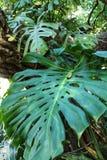Beautiful monstera deliciosa in the garden. Beautiful monstera deliciosa in the garden Stock Photo