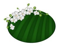 Beautiful Moon Orchids on Green Banana Leaf Royalty Free Stock Image