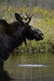 Beautiful moose Stock Photography