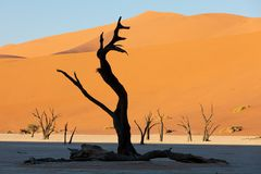 Dead acacia in Dead Vlei, Sossusvlei Namibia Africa. Beautiful morning colors in Dead Vlei landscape, Namib desert, dead acacia tree in valley with blue sky royalty free stock photo
