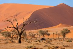 Dead Vlei landscape in Sossusvlei, Namibia Africa. Beautiful morning colors of hidden Dead Vlei landscape in Namib desert, dead acacia trees in valley with blue royalty free stock photos